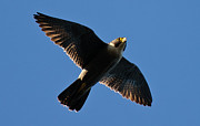 Hunting Bird Metal Prints - Peregrine Falcon 4 Metal Print by Michael  Nau