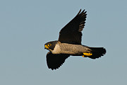 Hunting Bird Framed Prints - Peregrine Falcon 6 Framed Print by Michael  Nau