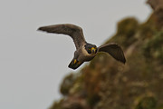 Hunting Bird Metal Prints - Peregrine Falcon 7 Metal Print by Michael  Nau