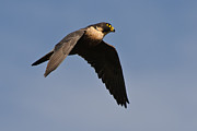 Hunting Bird Metal Prints - Peregrine Falcon 8 Metal Print by Michael  Nau