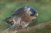 Tree Limb Prints - Peregrine Falcon Print by Angie Vogel