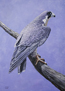 Hawk Painting Framed Prints - Peregrine Falcon Framed Print by Crista Forest