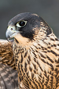 Feathered Photos - Peregrine Falcon by Dale Kincaid