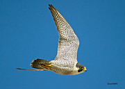 Stephen  Johnson - Peregrine Falcon Fly-By
