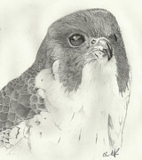 Falcon Drawings Metal Prints - Peregrine Falcon Headshot Metal Print by Christopher Hughes