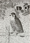 Shed Drawings - Peregrine Falcon on Fence  by Jeanette K