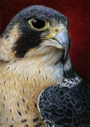 Colored Pencil Painting Metal Prints - Peregrine Falcon Metal Print by Pat Erickson