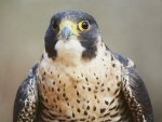 Paulette Thomas Photography Framed Prints - Peregrine Falcon Framed Print by Paulette  Thomas