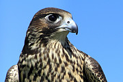 Hawk Digital Art - Peregrine Falcon Pride by Christina Rollo