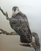 Falcon Drawings Metal Prints - Peregrine Falcon Metal Print by Rena Chereti