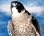 Sofranko Framed Prints - Peregrine Falcon Framed Print by Rose Santuci-Sofranko