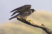 Peregrine Falcon Print by Tim Moore