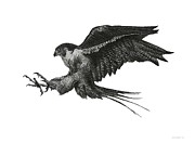 Falcon Drawings Metal Prints - Peregrine Hawk or Falcon Black and White with Pen and Ink Drawing Metal Print by Mario  Perez