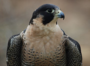 Richard Bryce - Peregrine Profile