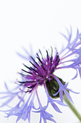 Centaurea Montana Photo Posters - Perennial Cornflower Poster by Anne Gilbert