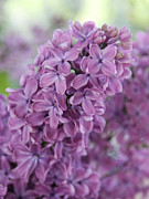 Fragrant Posters - Perfect Lilac Poster by Jasna Buncic