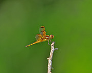 Yellow Dragonfly Posters - Perfect Painted Poster by Al Powell Photography USA