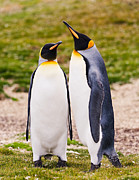 Penguins Prints - Perfect Pair Print by Nancy Jones