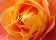 Ramona Johnston Framed Prints - Perfect Peach Rose Framed Print by Ramona Johnston