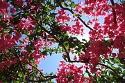 Tracey Harrington-Simpson - Perfect Pink Bougainvillea In Blossom