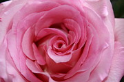 Linda Albonico - Perfect Pink Rose
