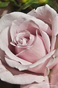 Teresa Dixon Metal Prints - Perfect Pink Rosebud Metal Print by Teresa Dixon