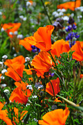 Wildflower Photos Posters - Perfect Poppies Poster by Lynn Bauer