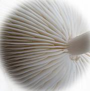 Perfect Round White Mushroom Print by Tina M Wenger