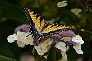 Perfect Tiger Swallowtail Butterfly Print by Byron Varvarigos
