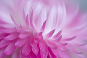 Lensbaby Close-up Posters - Perfectly Pink Poster by David and Carol Kelly