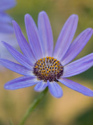 Senetti Metal Prints - Pericallis Senetti Flower Metal Print by Dorothy Lee