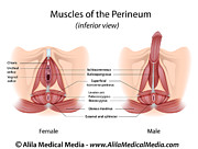 Urethra Digital Art - Perineum muscles in male and female by Alila Medical Media