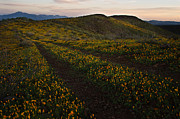 Somber Prints - Periodot Mesa in Bloom Print by Dave Dilli
