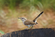Bewick Prints - Perky Wren Print by Jeff Waugh