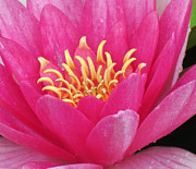 Fushia Photos - Perrys Fire Opal Water Lily by Darleen Stry