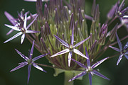 Stellate Metal Prints - Persian Allium Metal Print by Lauren Brice