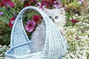 Alan and Sandy Carey - Persian Kitten In Basket