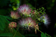 Blossoms Photos - Persian Silk Tree by Suzanne Stout
