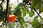 Ripe Photo Originals - Persimmon tree by Jose Carlos Velasco