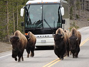 Yellowstone Mixed Media - Personal Escort - Touring Yellowstone by Photography Moments - Sandi