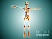 Costae Verae Posters - Perspective View Of Human Skeletal Poster by Stocktrek Images