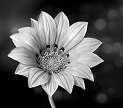 Shirley Mangini - Peruvian Daisy in Black...