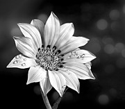 Shirley Mangini - Peruvian Daisy with Drop...
