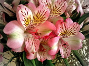 Lily Of The Incas Photos - Peruvian Lilies by John Tidball