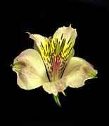 Flower Works Photos - Peruvian Lily. by Chris  Kusik