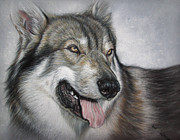 Golden Retriever Art Pastels Prints - PET PORTRAIT 16x12 in Tamaskan Wolfdog Print by Ksenija Mijokovic