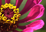 Zinnia Elegans Framed Prints - Petal Offering Framed Print by Chris Fleming