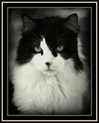 Pussy Framed Prints - Pete Framed Print by Lynn Andrews