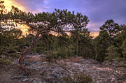 Pine Cones Photos - Petit Jean Mountain Bonsai Tree - Arkansas by Jason Politte