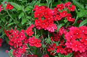 Petite Leaves Prints - Petite Geraniums Print by Gordon H Rohrbaugh Jr